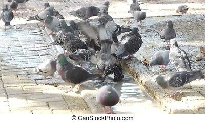 Dove birds in the city. They drink water and take bath.