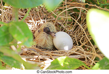 Dove Chick and Egg Hatching in the Nest