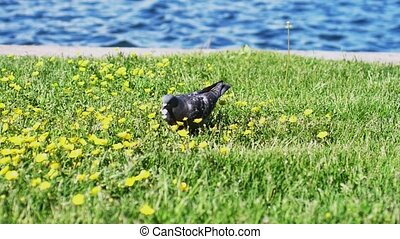 Dove eats on the grass at flower clearing by the sea in the...