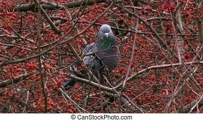 Dove feeding on wild apple