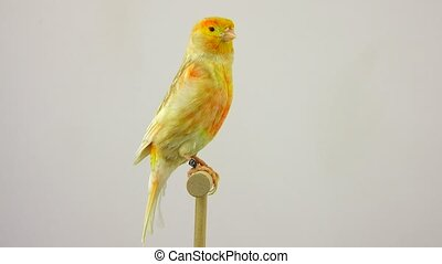dove - feo canary isolated on a white screen. soud