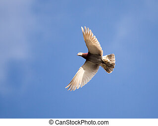 Dove flying against a blue sky with clouds