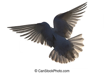 dove in flight