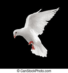dove in flight - dove looks down while flying, isolated on ...