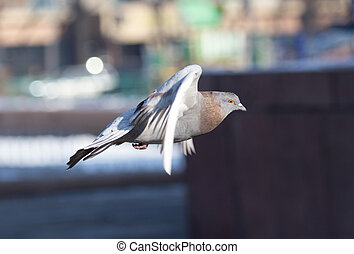 dove in flight in city