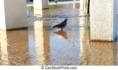 Dove in fountain. Pigeon drinks water from the water fountain.