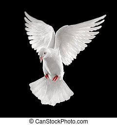 dove looking down while flying, isolated on black background