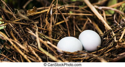 Dove nest with two unhatched eggs