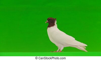 dove on a green screen
