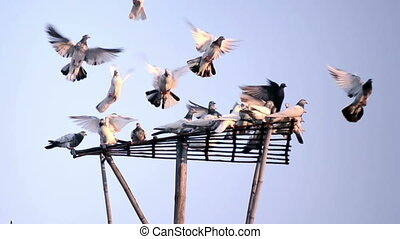 Dove on blue sky