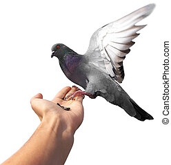 Dove on hand - Isolated pigeon on hand. Element of design.