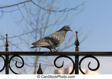 dove on the fence