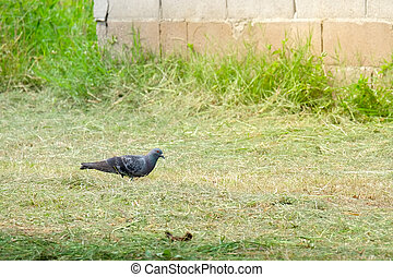 Dove on the grass, pigeon at grass field, pigeon walk alone.