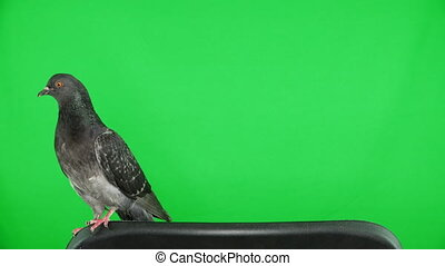 dove on the green screen