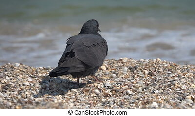 Dove on the sandy seashore of the Black Sea. Slow motion