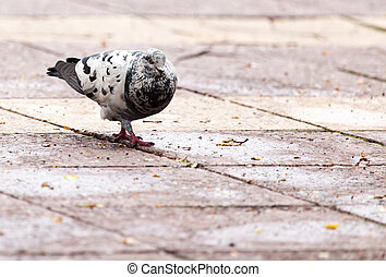 Dove on the sidewalk in the city
