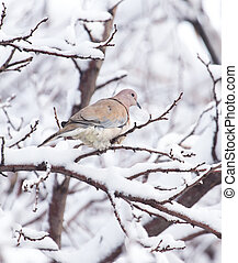 dove on the tree in winter