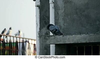 Dove or pigeon bird