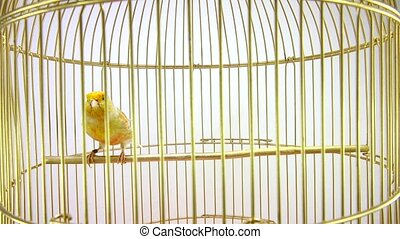dove - singing canary in a cage isolated on a white screen....