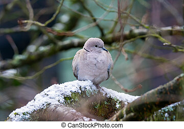 Dove sitting on a tree with snow