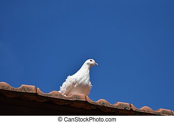 Dove sitting on the Edge of Roof