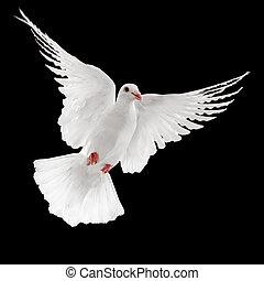 dove - flying white dove isolated on black background