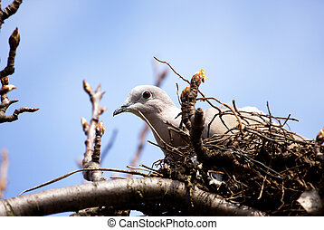 Dove with egg on nest