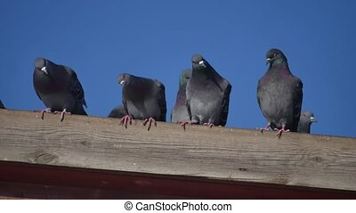 doves of some feral pigeons sat on the roof of a house....