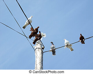 doves on a power lines