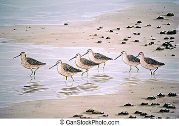 dowitcher, short-billed