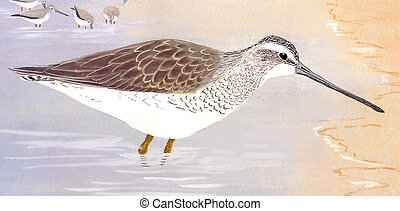 dowitcher, short-billed, invierno