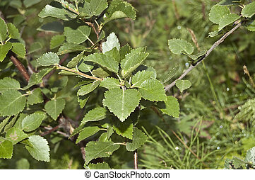 Downy Birch (Betula pubescens) - Detail of leaves of Downy...