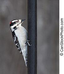 downy woodpecker and a black metal pole