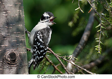 Downy Woodpecker Calling Out