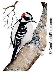 Downy Woodpecker - male Picoides pubescens Watercolor