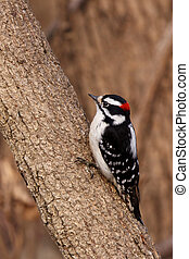 downy woodpecker on a tree branch