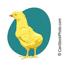 downy yellow chick - Baby farm animal, a young chicken