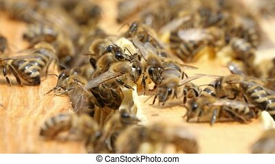 Dozens of bees crawl on the beecomb boards with honey and...