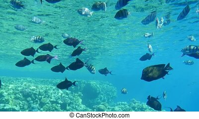Exciting underwater view of numerous exotic middle-sized fishes swimming over the reefs in see-through celeste sea waters in Egypt.