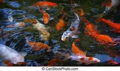 Dozens of Koi Fish, Swimming at a Pond's Surface - Video ...