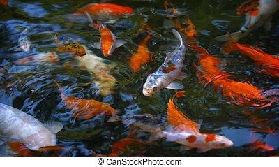 Dozens of Koi Fish, Swimming at a Pond's Surface
