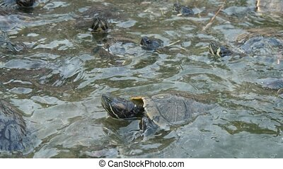 Dozens of little turtles swimming and creeping the shore on ...