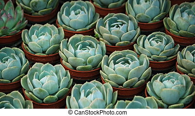 Dozens of potted Hen and Chicks Plants at a Garden Shop -...