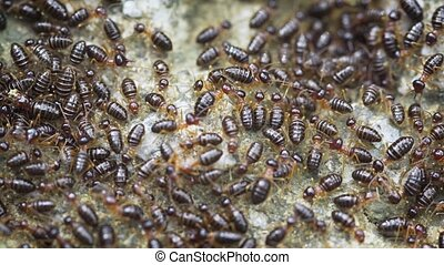Dozens of Terrestrial Termites in Extreme Closeup, Cleaning...