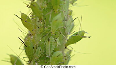 Dozens of Tiny Aphids Feeding on a Plant Stem. Video 1080p