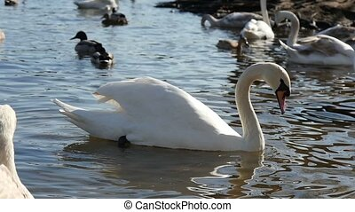 Dozens of white swans and brown ducks are swimming near a riverbank in slo-mo