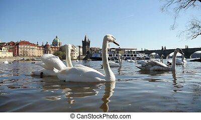 Dozens of white swans swimming not far from the Charles bridge in slow motion