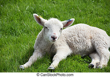 Dozing Lamb in the Springtime Resting in a Field