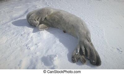 Dozing puppy seal lying on snow. Antarctica shot.