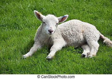 Dozing White Lamb Resting in a Grass Field